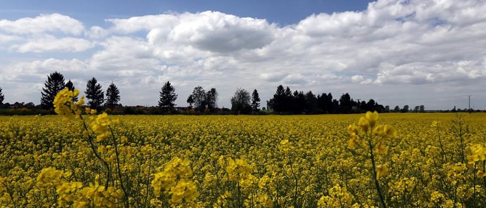 Rzepak kwitnie dzięki opadom deszczu w maju